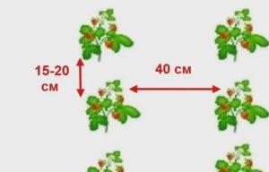 высаживание рассады клубники