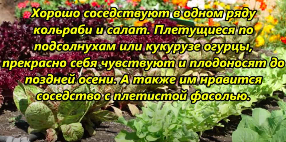 соседство кальраби и салат